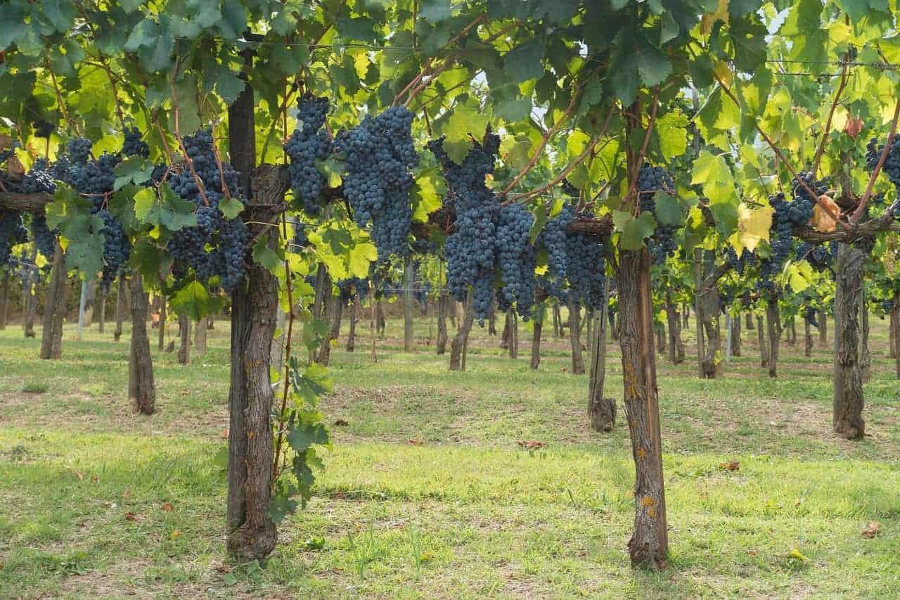 uva-chianti